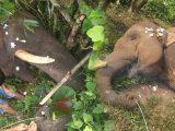 जंगली हाथी